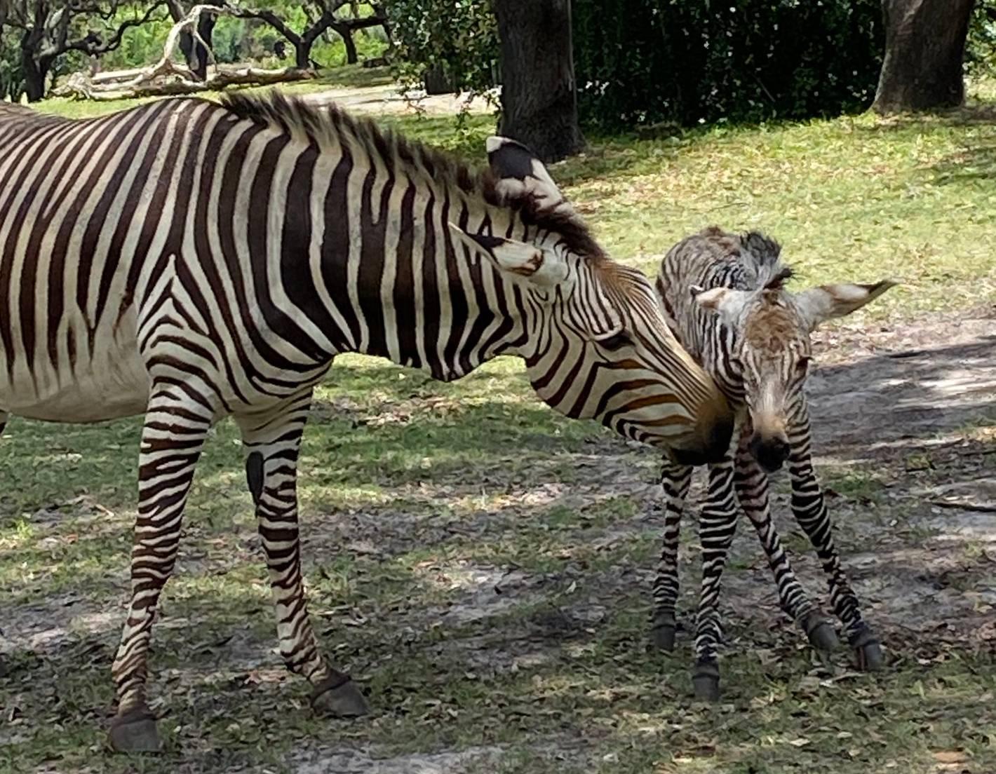 Hartmann's mountain zebra foal born May 17 2021