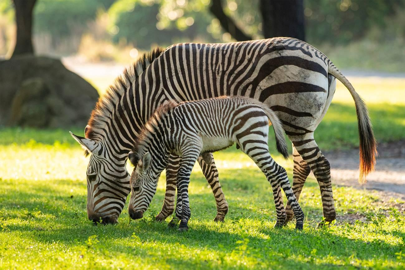 Dash the Baby Zebra at Kilimanjaro Safaris Disney's Animal Kingdom