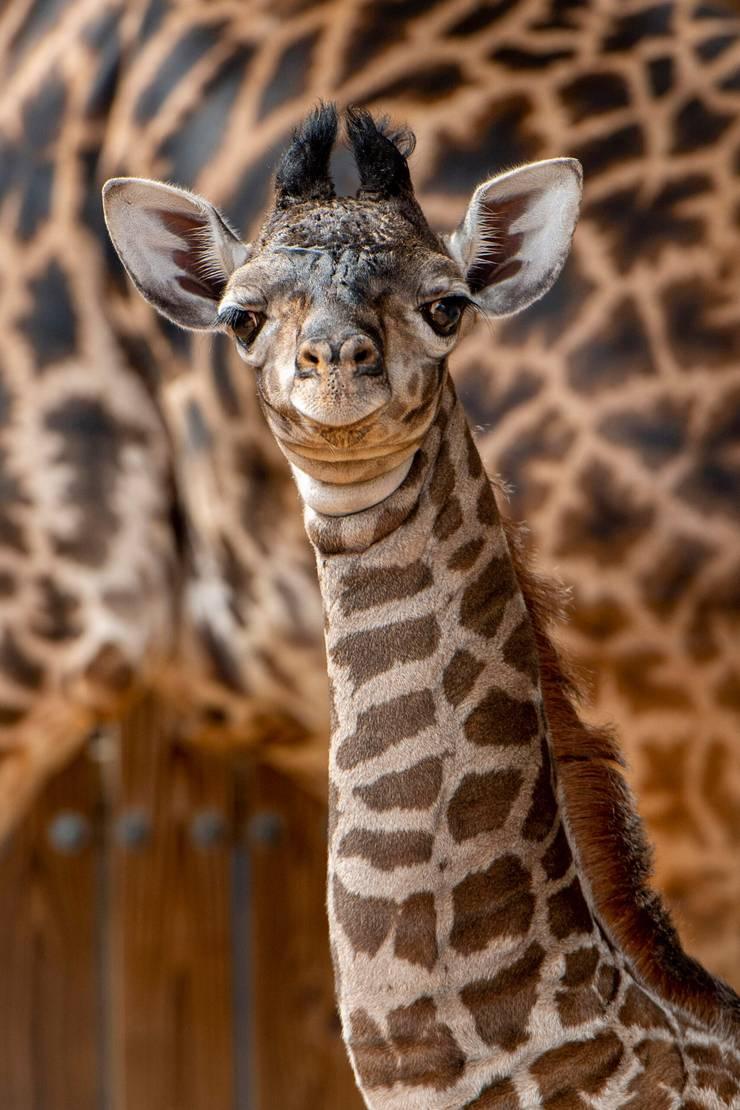 Masai giraffe calf bornJune 10 2021 at Disney's Animal Kingdom